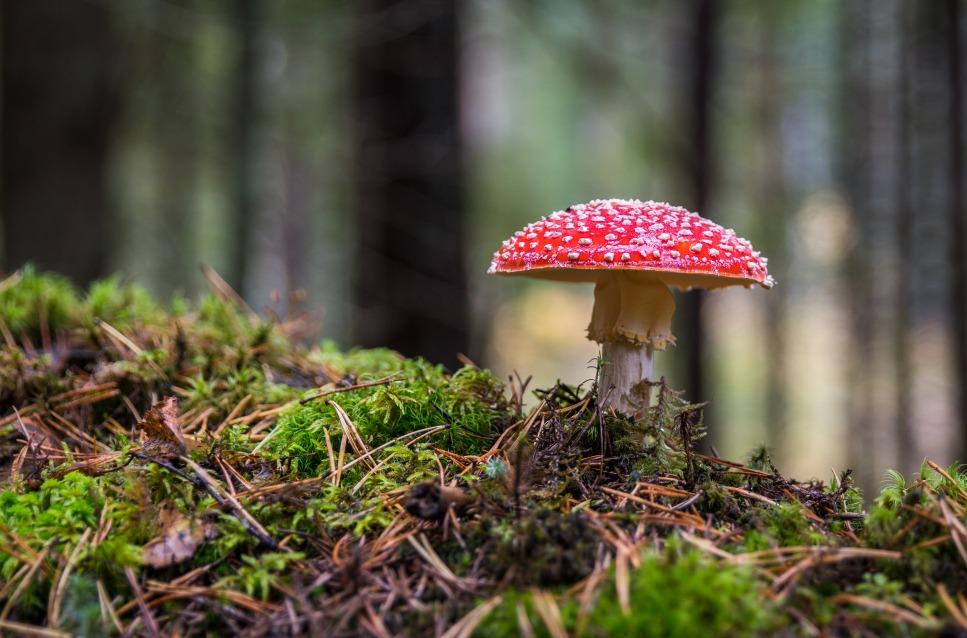 Close-up van mos en paddenstoel, rood met witte stippen, in het bos - decoratieve afbeelding bij 'Aanstormende herfst'