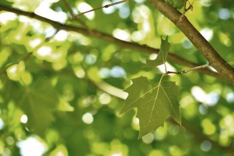 Plataanbladeren de zon - decoratieve afbeelding