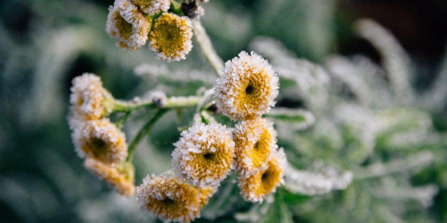 Afbeelding van bevroren gele bloemen bij gedicht 'Ik wou'
